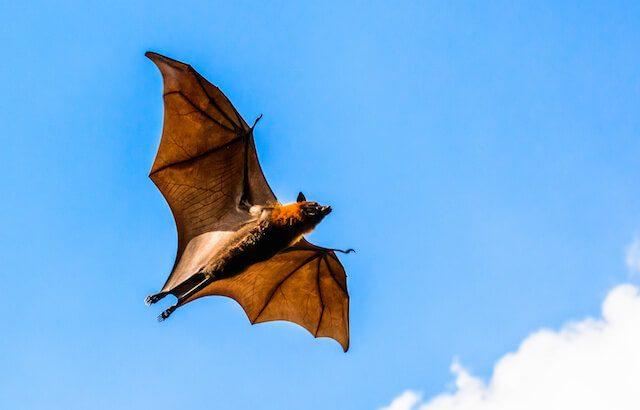 コウモリの超音波:エコーロケーションを知る